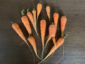 overwintering-carrots