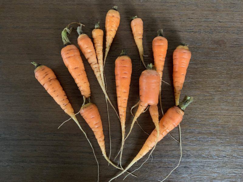 overwintering-carrots